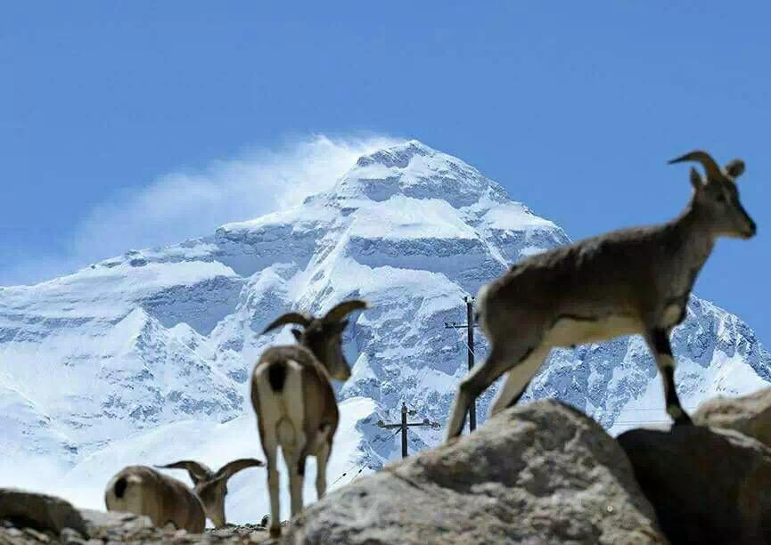 Mountain goats during a eco tourism adventure near everest with Tibet Roof of the World eco tour company