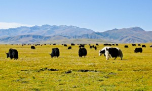 Yaks grazing in Tibet