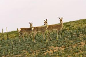 tibet deer