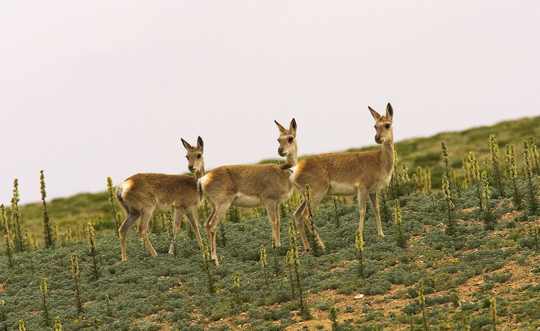 Deer in conservation area in Tibet