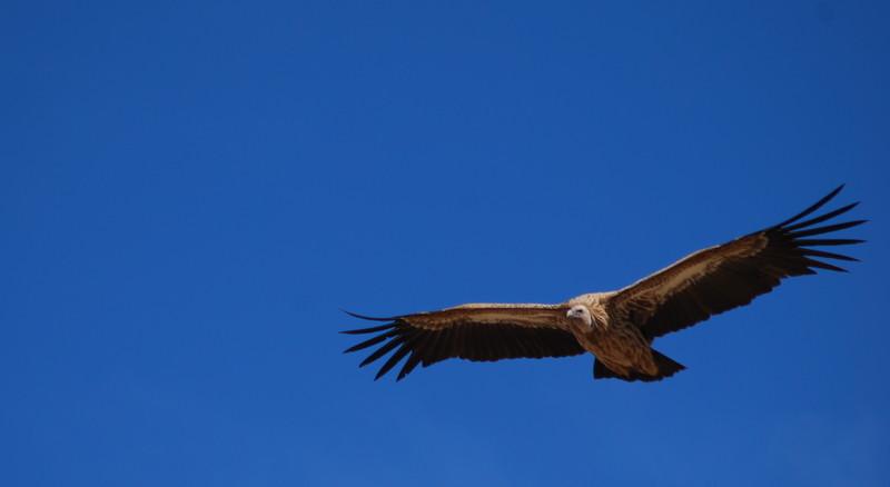 Vulture in Tibet blue sky